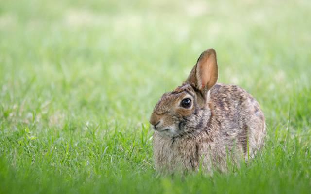 野兔,草,灰色,野兔
