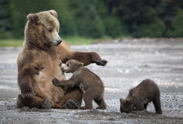 沙,熊,山雀,熊,熊,妈妈,熊
