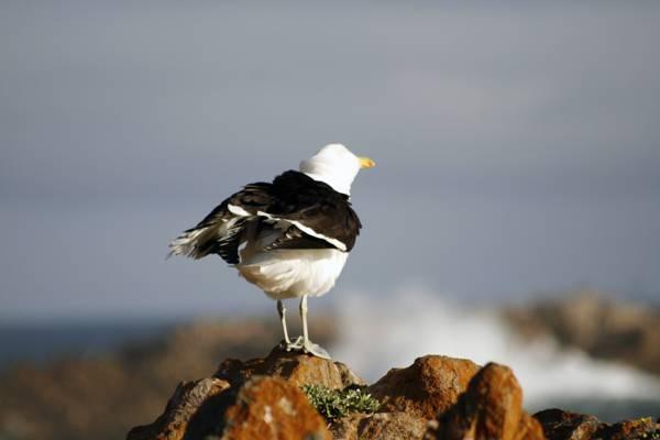 白色和黑色的海鸥在摇滚高清壁纸