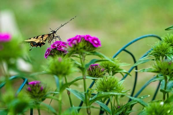 棕色和黑色蝴蝶紫色选择性焦点摄影petaled鲜花高清壁纸