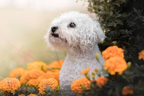 花,看,万寿菊,脸,狗