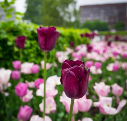 两个黑暗的粉红色郁金香高清壁纸的选择性焦点摄影