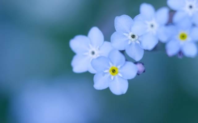 柔软,宏观,鲜花,勿忘我,蓝色,背景,颜色,模糊,花瓣,蓝色,小