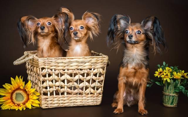 三重奏,毛茸茸的,狗