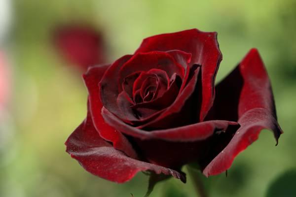 芽,花瓣,天鹅绒,宏,玫瑰