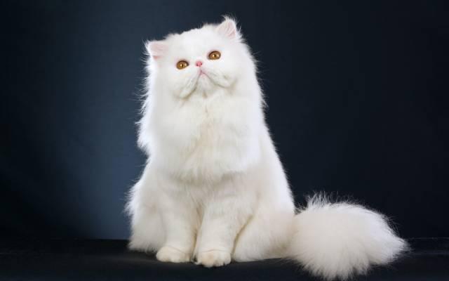 Wallpaper波斯猫,白,小猫,白,波斯猫,美丽,小猫,美丽