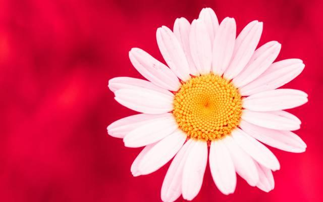 花卉,黛西,花瓣,背景