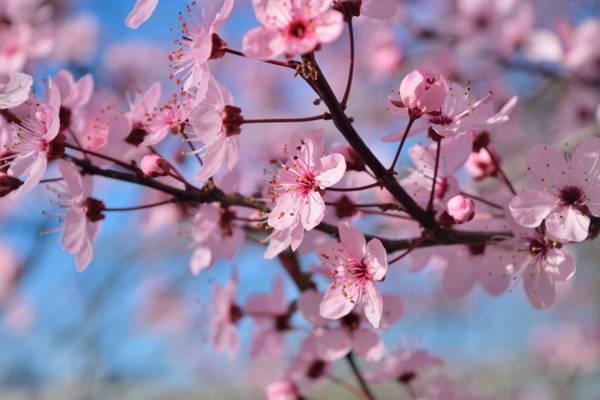 樱花树在白天高清壁纸的选择性焦点