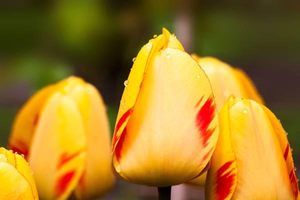 宏观摄影的黄色郁金香花高清壁纸
