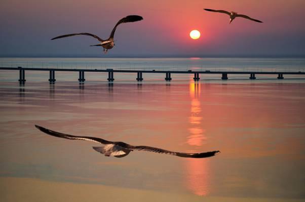 海,海鸥,桥,飞行,日落