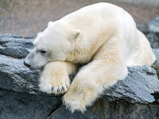 石头,悲伤,©Tambako捷豹,北极熊,极地