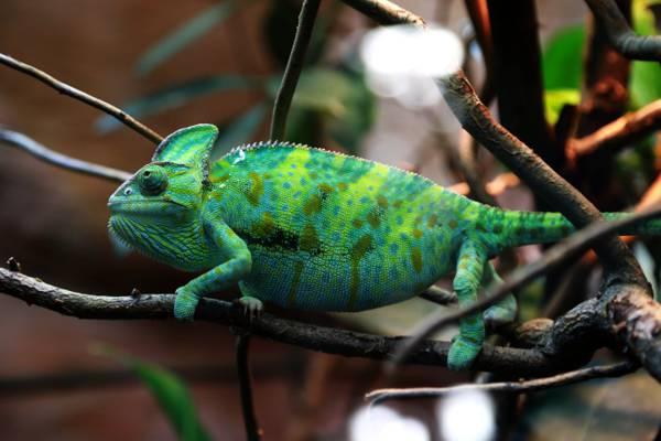 关闭绿色和黄色变色蜥蜴在树干HD墙纸的视图