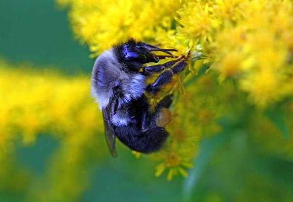 木匠蜂栖息在黄色的花朵高清壁纸