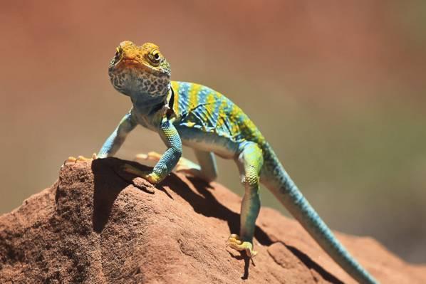 绿色和蓝色蜥蜴在棕色石头HD墙纸
