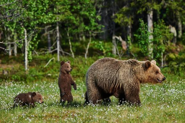 鲜花,熊,熊,性质,树木,棕色,林间空地,散景,绿色,夏天,草,森林