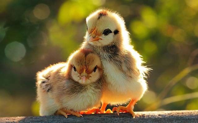 对,小鸡,鸟,鸡