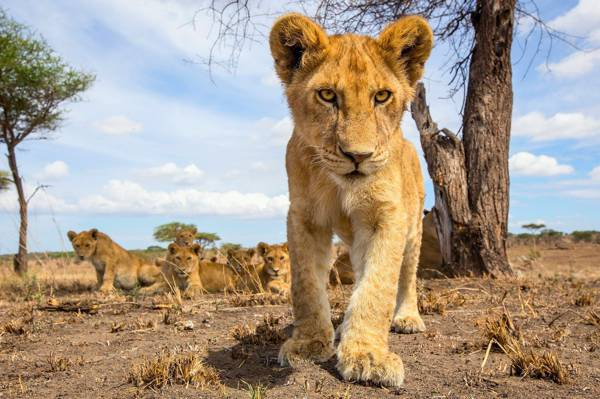 骄傲,狮子,小熊,小,包装