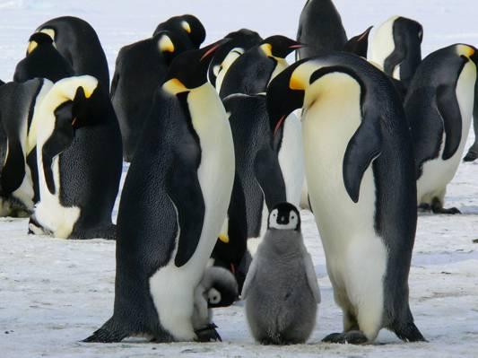 帝企鹅组高清壁纸