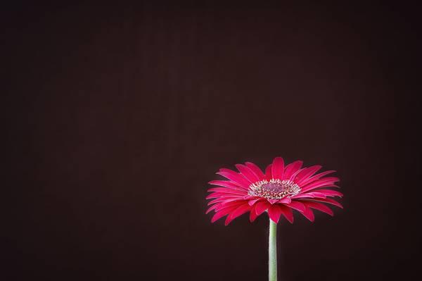 红色雏菊高清壁纸浅焦点摄影