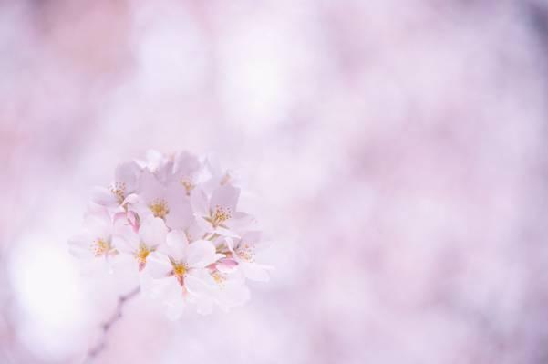 樱花,白,小枝,花瓣,开花,樱桃,粉红色