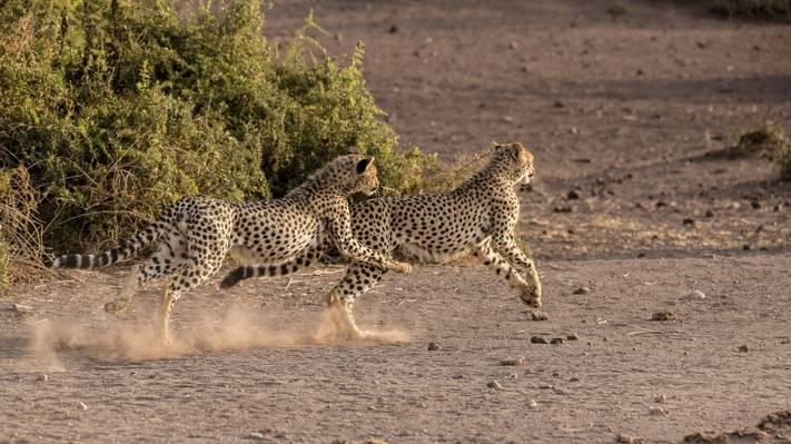 壁纸大鳄,游戏,萨凡纳,野猫,双,跑步,年轻,猎豹