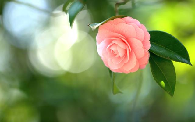 茶花,分支,粉红色