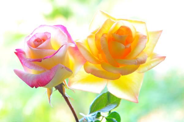 宏,花瓣,玫瑰,背景