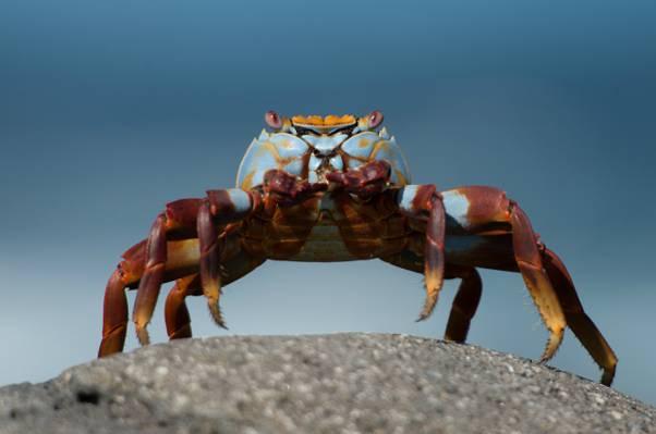 石,宏,绿松石,背景,螃蟹