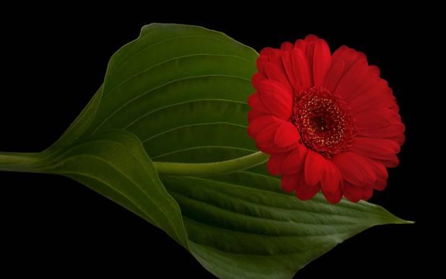 黑色的背景,工作表,花瓣,干,非洲菊,红色