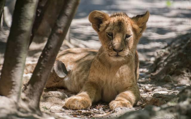 崽,狮子,狮子
