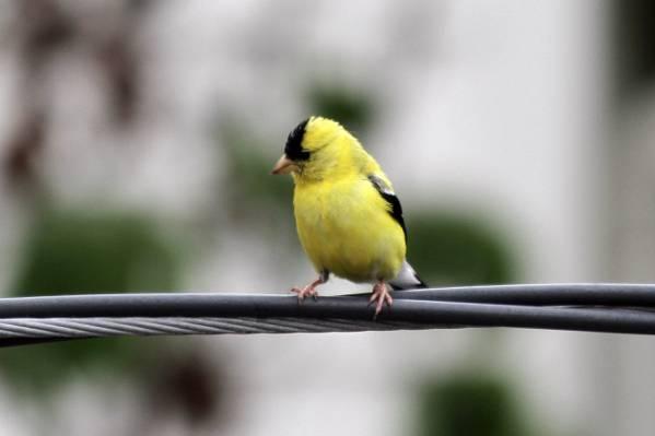 黄色和黑色的鸟类摄影,美国金翅雀,carduelis高清壁纸