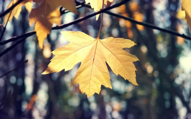壁纸宏,表,性质,枫叶,分支机构,秋季