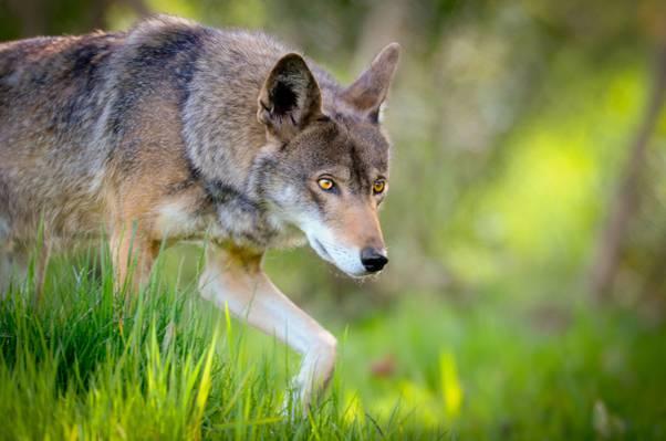 选择性焦点的灰色土狼,红狼高清壁纸的照片