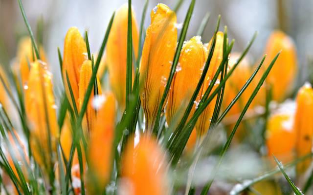 番红花,水滴,雪,黄色