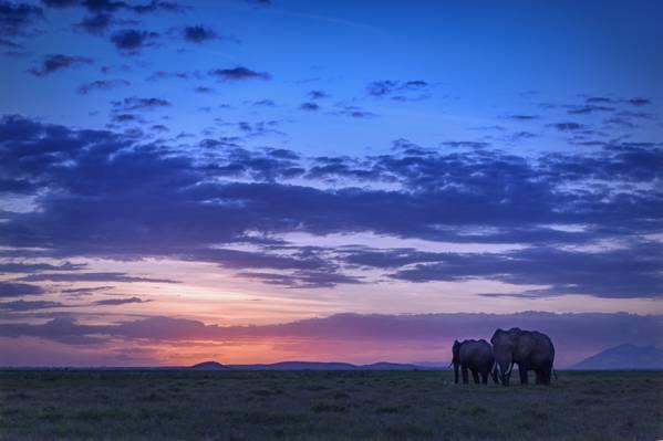 两头大象在日落期间场,安博塞利国家公园,肯尼亚高清壁纸