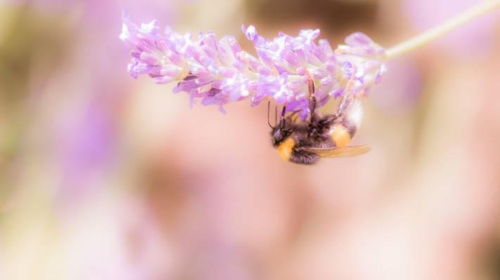 棕色蜜蜂栖息在白色和粉红色的花朵高清壁纸