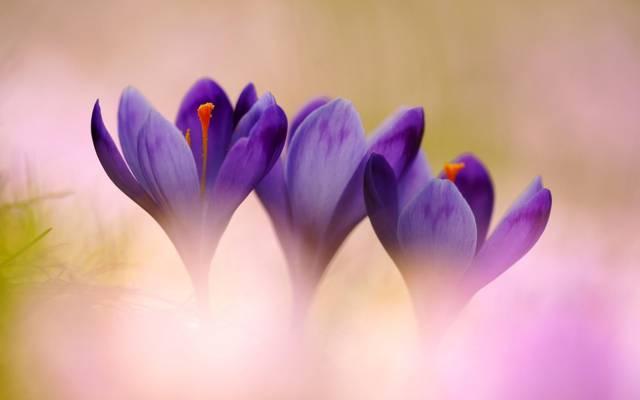 鲜花,宏观,番红花,报春花,丁香,春天