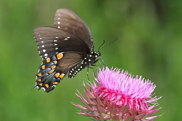 棕色飞过的蝴蝶授粉粉红色的花,spicebush,燕尾高清壁纸