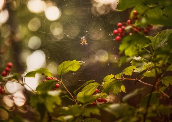 浆果,卡利纳,网站,夏天,八月,蜘蛛