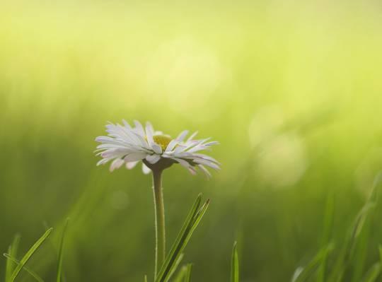 选择性的重点拍摄的白色雏菊高清壁纸