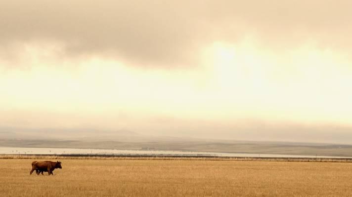 水牛走在绿草领域附近水的风景照片高清壁纸