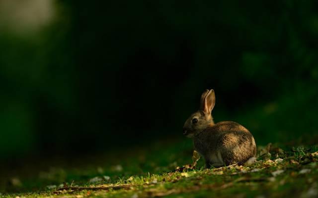 夏天,野兔,自然