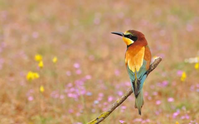花,金黄食蜂鸟,去皮,鸟