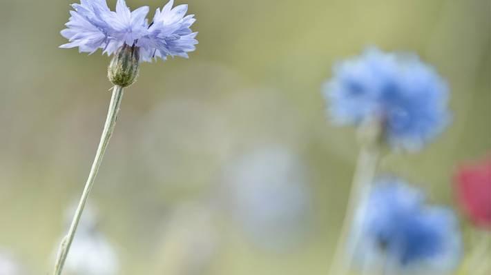 壁纸模糊,淡蓝色,矢车菊,宏,重点