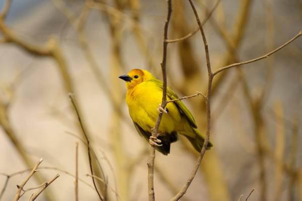 黄色鸟在棕色的分支高清壁纸