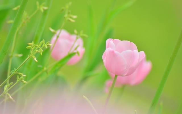 芽,宏,绿色,植物,花卉,粉红色,颜色,模糊,绿色,郁金香,春天