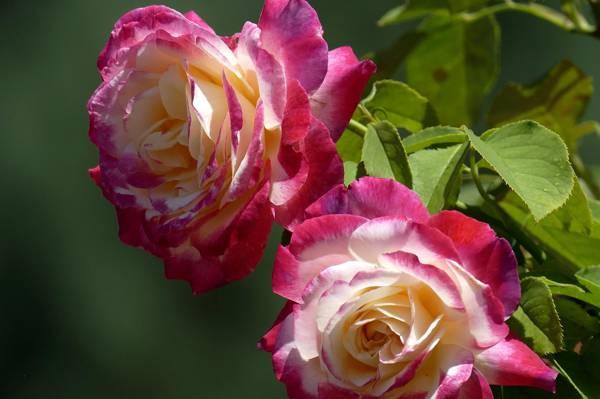 二重奏,玫瑰,芽