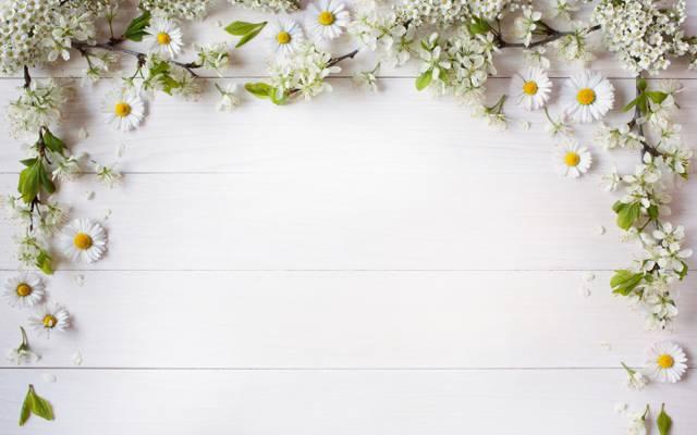 分支,花是白色的,装饰,背景,花瓣,洋甘菊