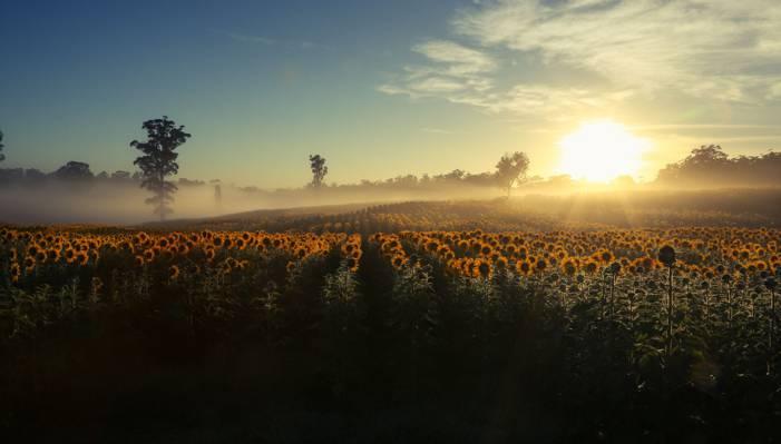 雾,早上,向日葵