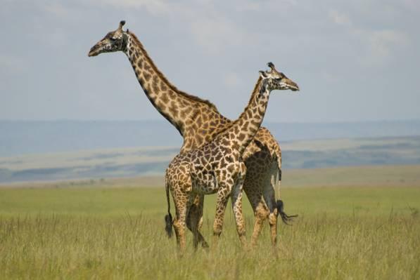 两个长颈鹿在草地,长颈鹿,马赛马拉,肯尼亚高清壁纸